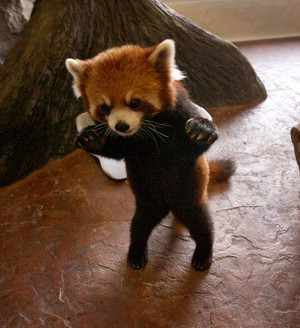 Creeping in red panda
