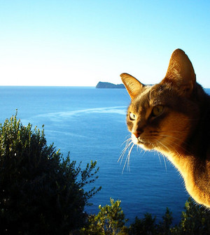 Abyssinian Cat With Ocean Background