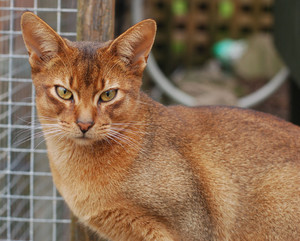 Abyssinians Cat Green Eyes