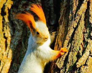Eurasian Squirrel