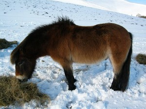 эксмур, exmoor пони in the Snow