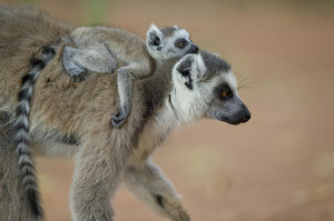 Ring Tailed lemur Mom and Baby