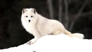 Beautiful Arctic fuchs