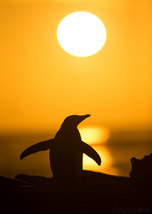 pinguin, penguin in the Sunset
