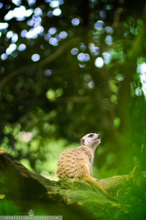 Peaceful Meerkat