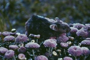 ratte in the Blumen