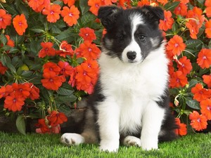 Border collie Puppy, kertas dinding