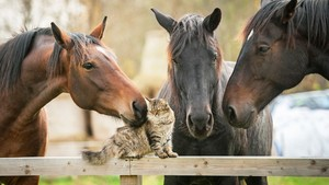 Cat and chevaux