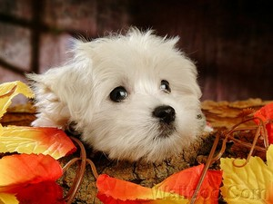 Cuddly Fluffy Maltese perrito, cachorro cute cachorritos 13986025