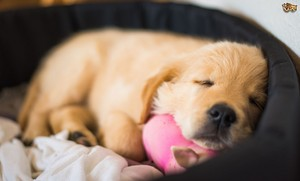 how much sleep do puppies actually need 585a6d2b3e251