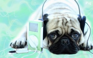 A Pug listening to music