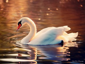 Beautiful cygne