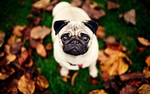 Pug Autumn wallpaper