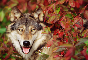 Autumn Wolves