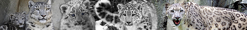 Snow Leopard banner - Snow Leopards fan Art (41524370) - fanpop