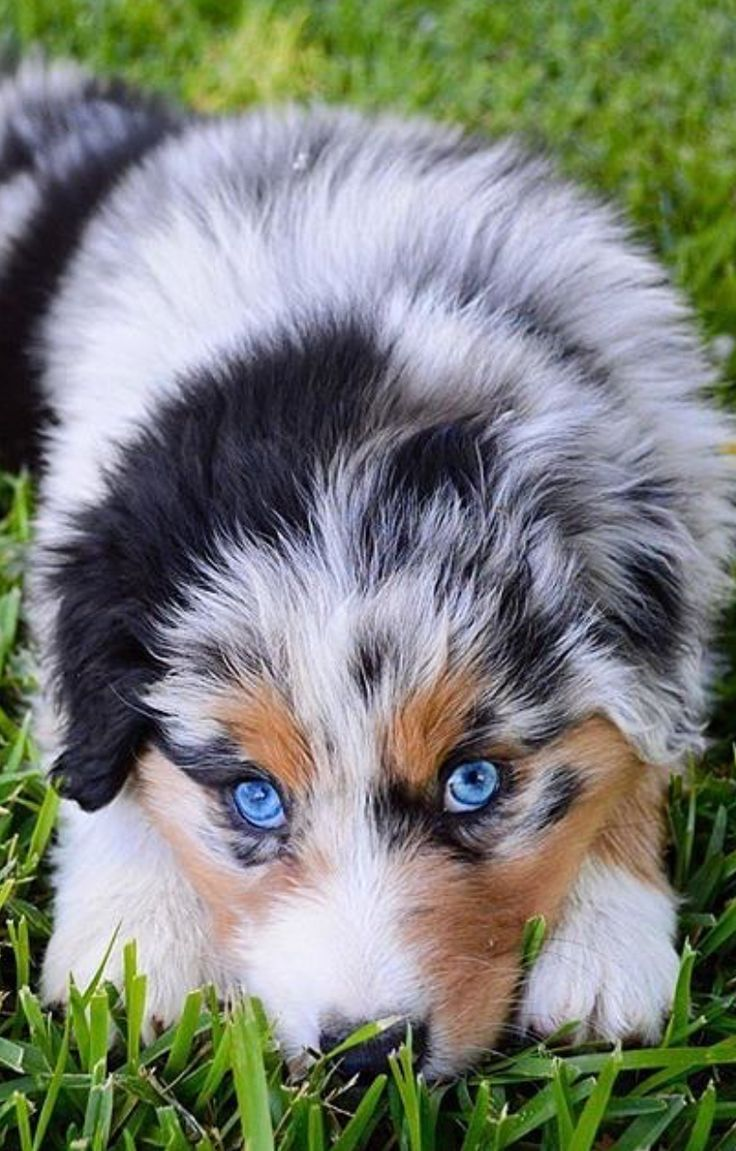 cute australian shepherd puppies