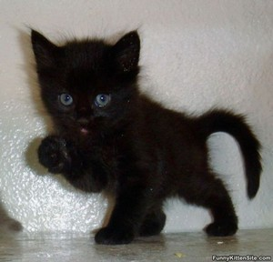 cute black gatitos