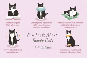 Fun Facts About Tuxedo Kucing