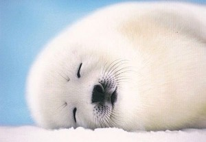 baby seal❤️🌸