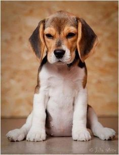 Beagle puppies🐶❤