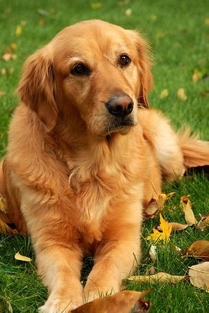 Golden Retriever 🐕