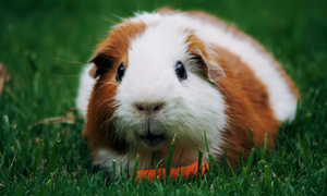 my favori animaux 🐾 guinea pigs
