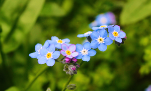 my favori fleurs ❀ forget me not