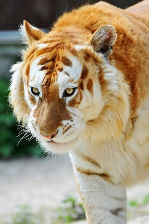 Golden Tiger