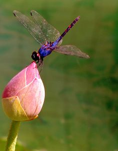 beautiful dragonflies🌹