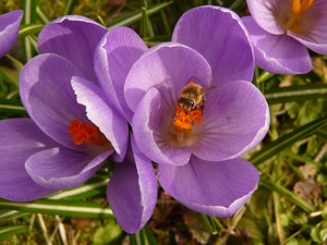 crocus fleur and a Bee.