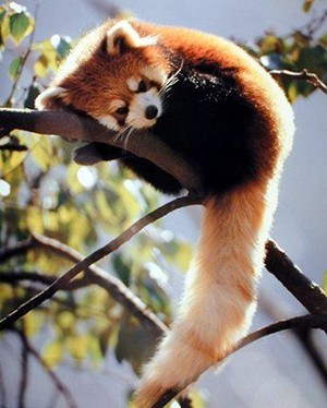 Adorable Red panda 🐾