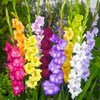 August - Gladiolus (moral integrity, strength)